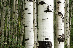 Glasnische Birch Forrest